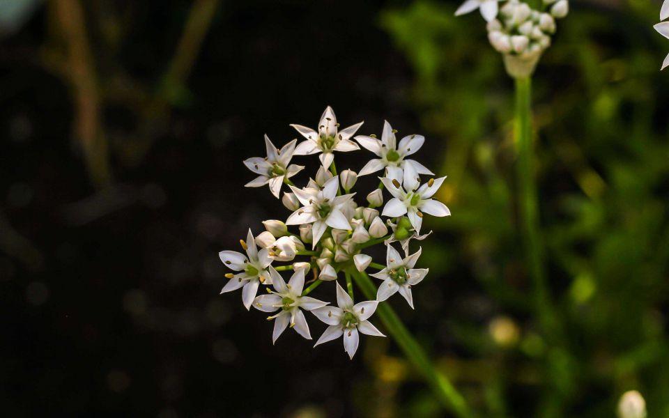 Hintergrundbild Schnittknoblauch in voller Blüte