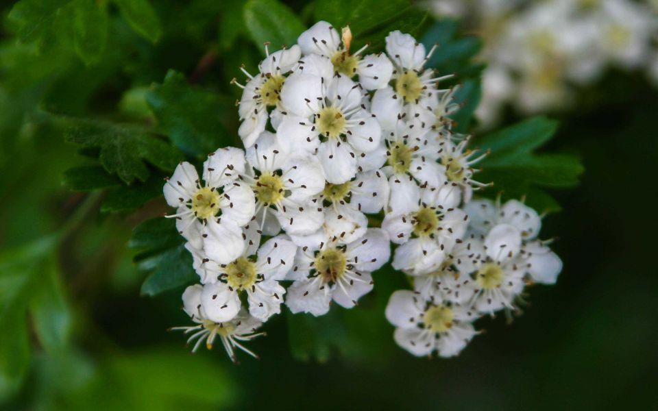 Hintergrundbild Blüte einer Prachtspiere