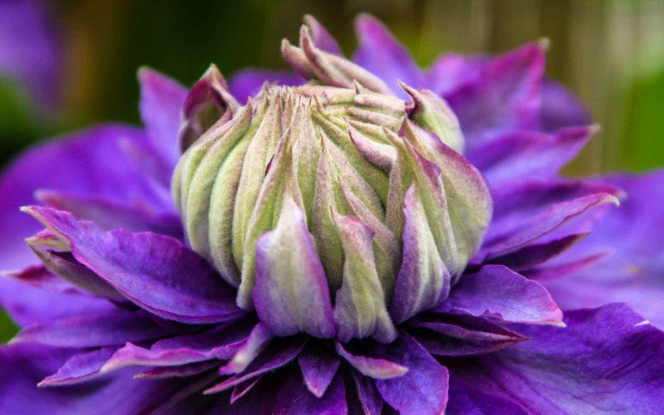Hintergrundbild Blüte einer violetten Clematis