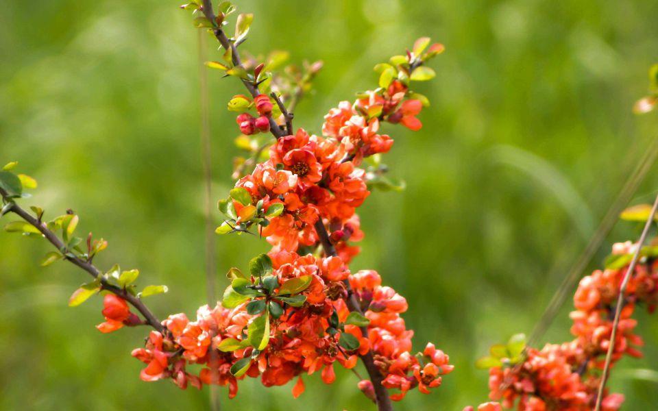 Hintergrundbild Blüten Japansiche Zierquitte