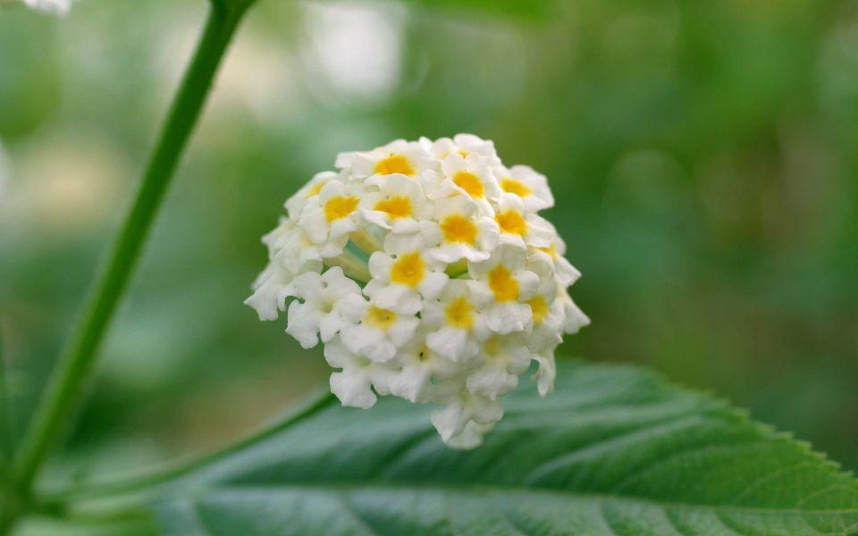 Hintergrundbild Blassgelbe Blume