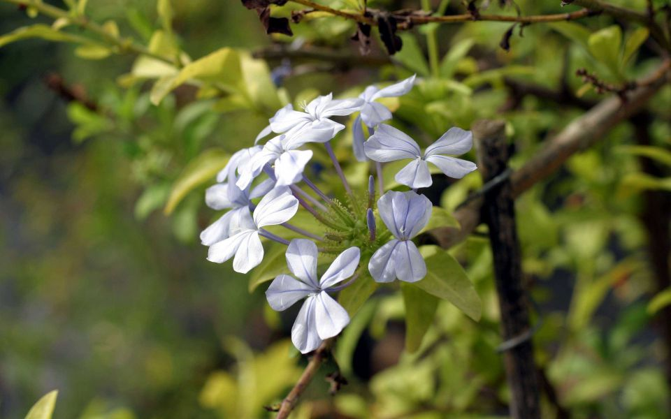 Hintergrundbild Blaue Blüten in Nahaufnahme