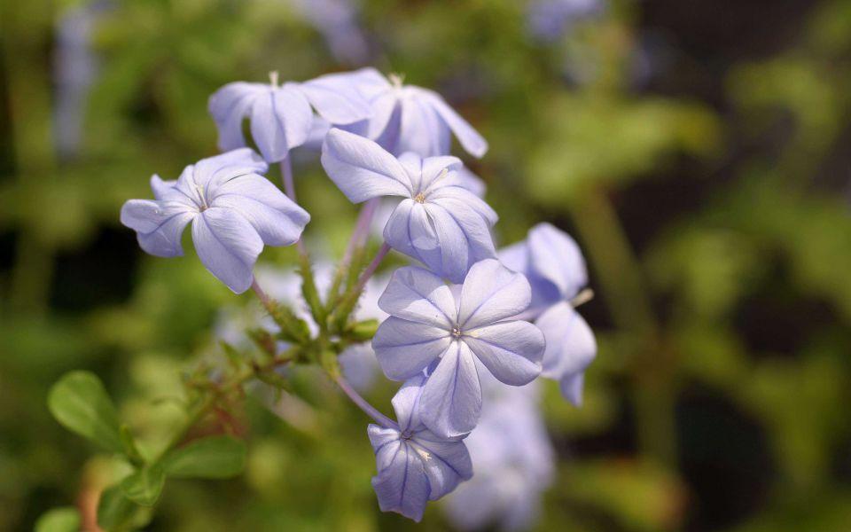 Hintergrundbild Blaue Blume