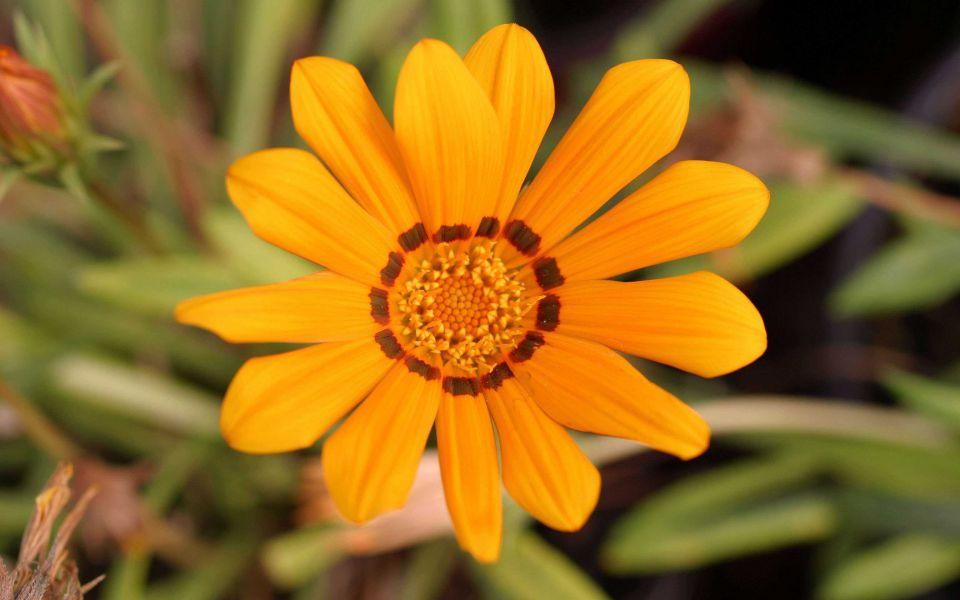 Hintergrundbild Nahaufnahme Gelbe Blume