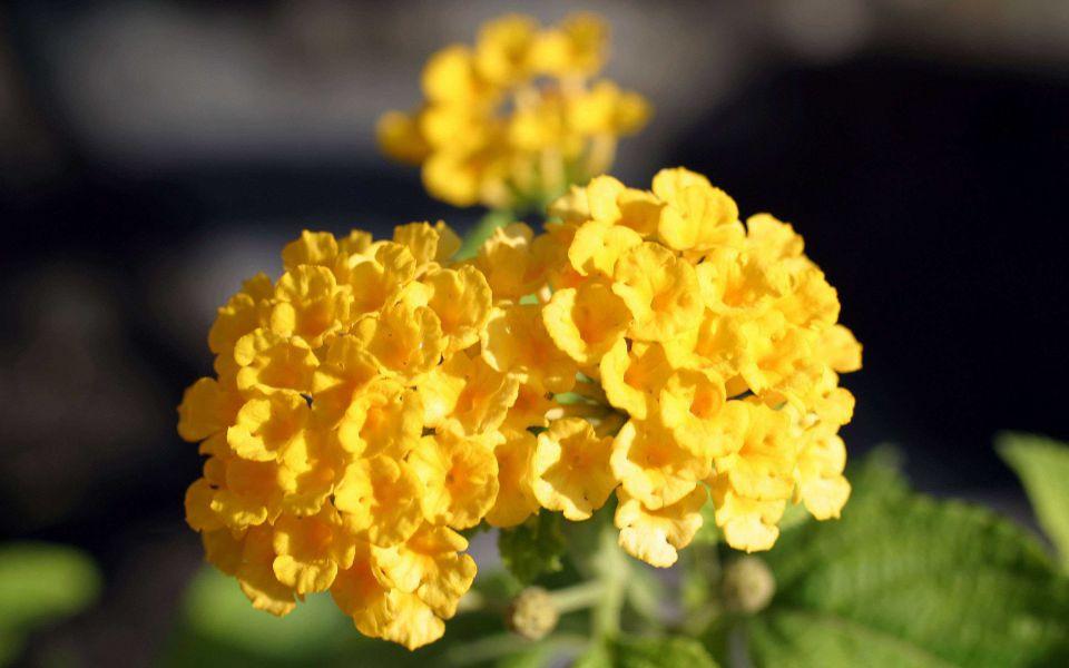 Hintergrundbild Gelbe Blume Nahaufnahme