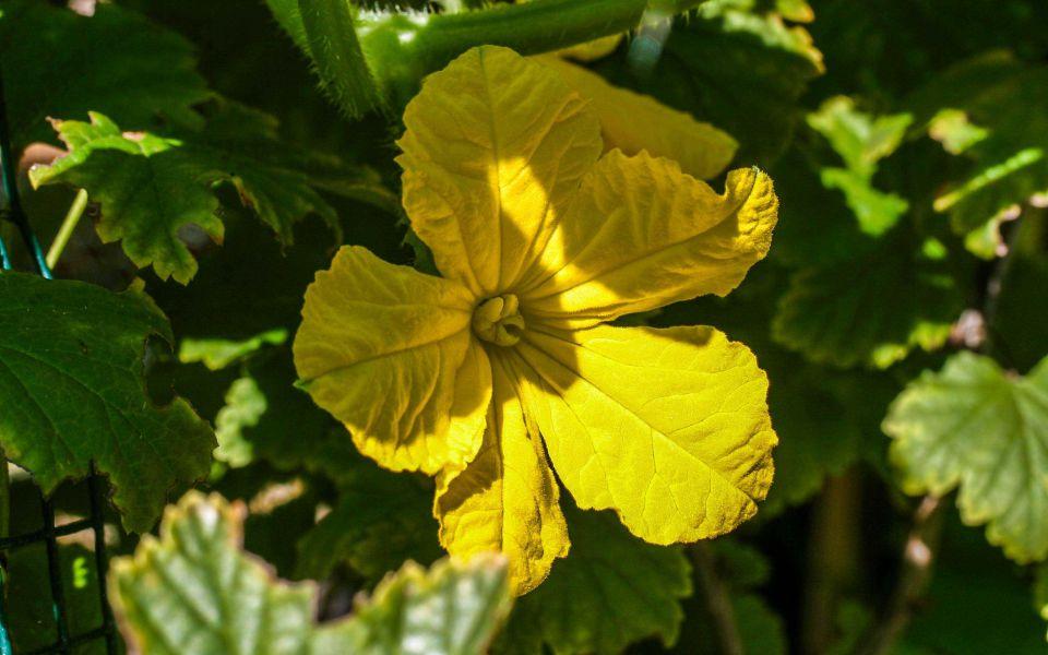 Hintergrundbild Gelbe Kürbisblüte