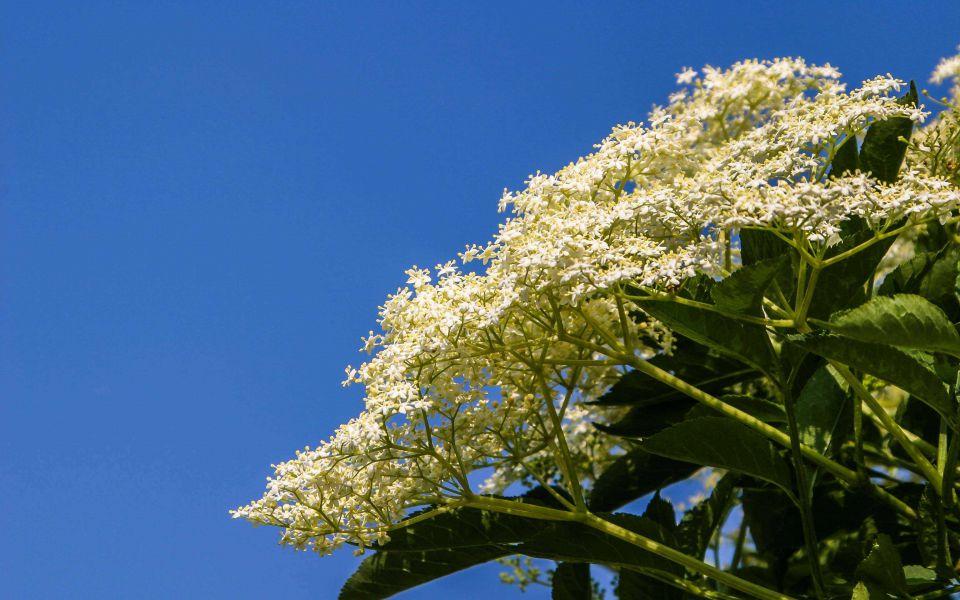 Hintergrundbild Holunderblüte Nahaufnahme