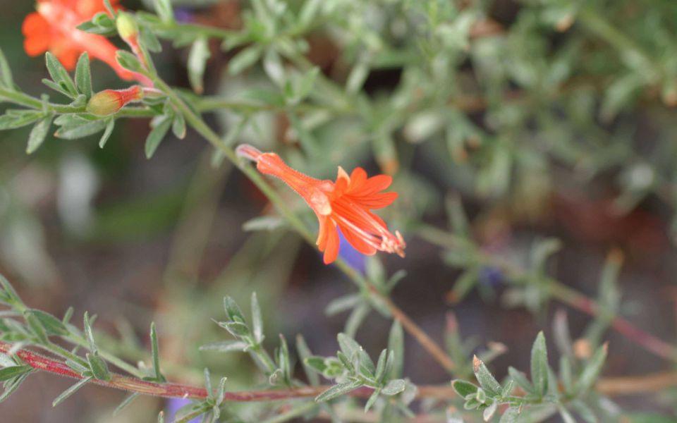 Hintergrundbild Kleine rotorange Blume