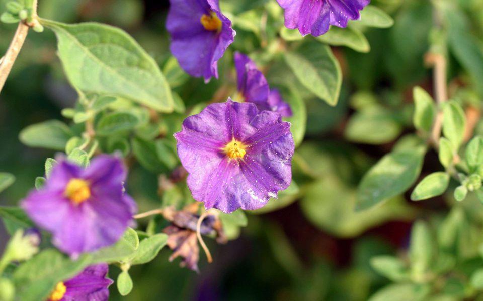 Hintergrundbild Kleine violette Blumen