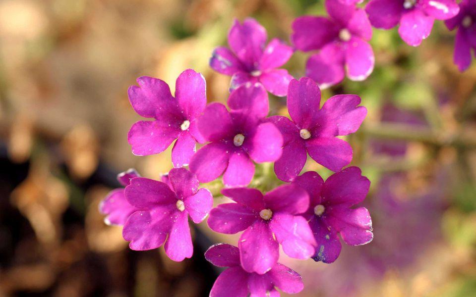 Hintergrundbild Lila Blumen