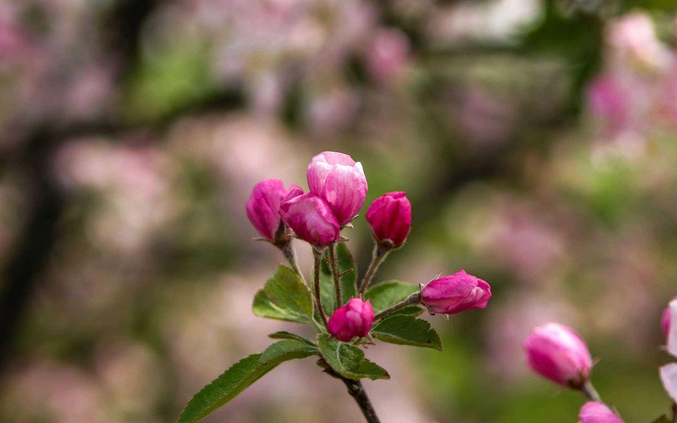 Hintergrundbild Nahaufnahme Apfelblüte