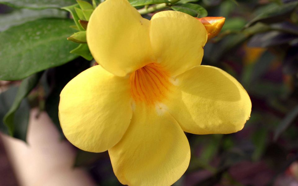 Hintergrundbild Nahaufnahme gelbe Blüte