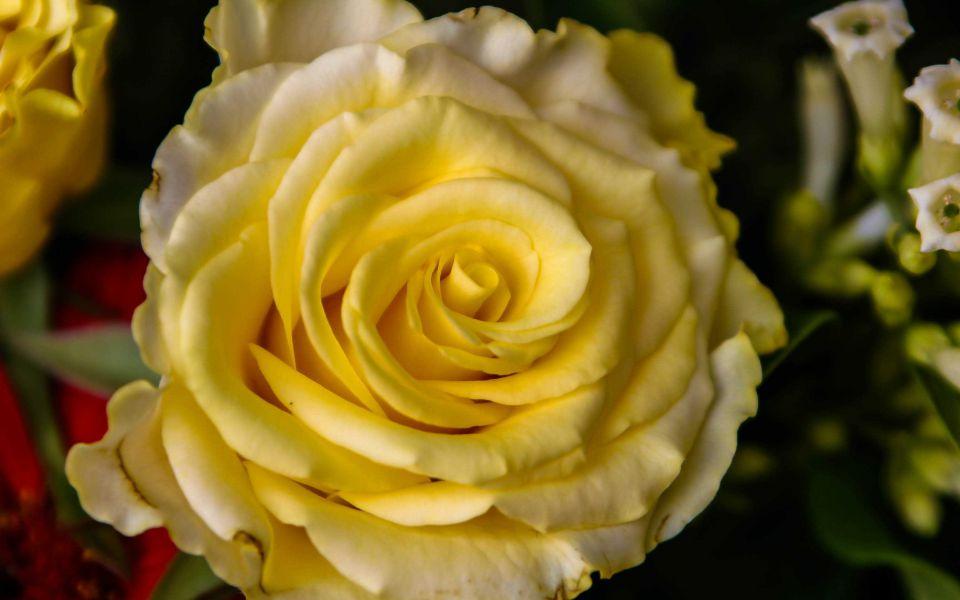 Hintergrundbild Nahaufnahme gelbe Rose