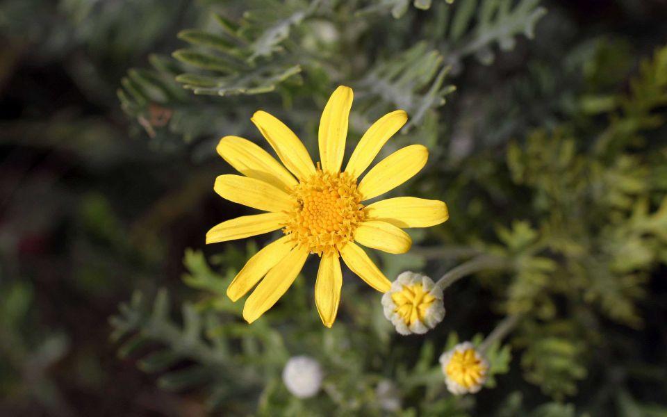 Hintergrundbild Perfekte gelbe Blume