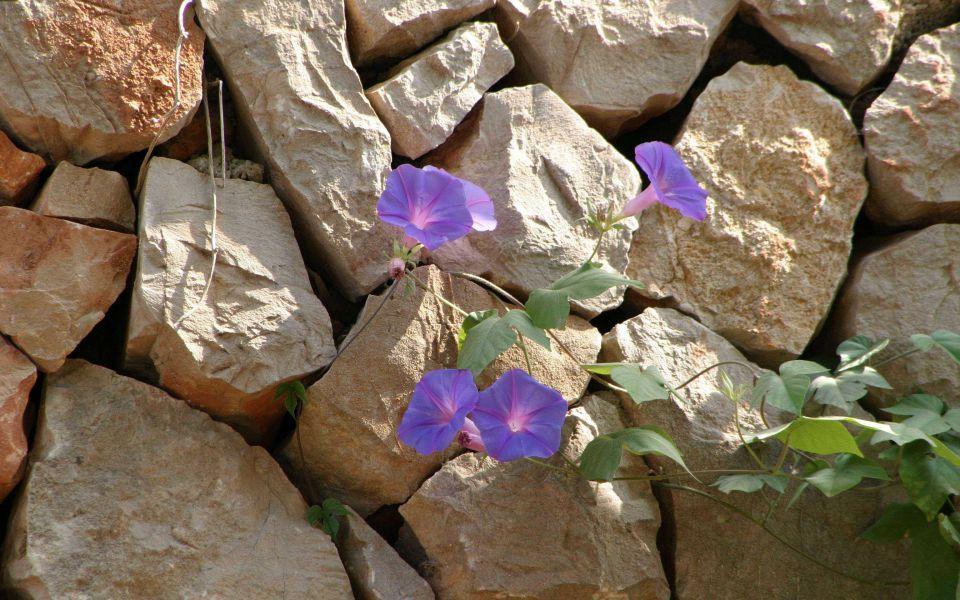 Hintergrundbild Prunkwinde an einer Mauer