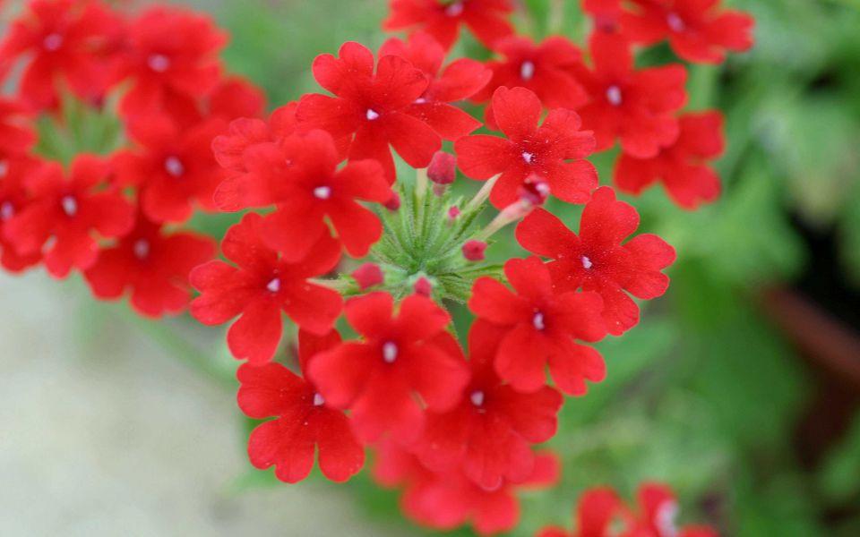 Hintergrundbild Pure red Blossom