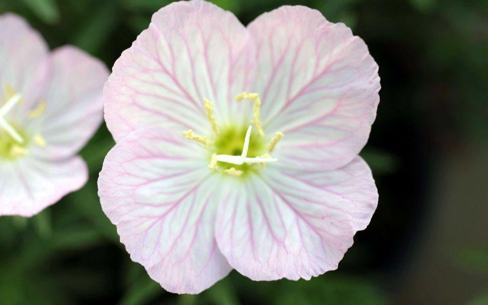 Hintergrundbild Rosa Blume in Nahaufnahme