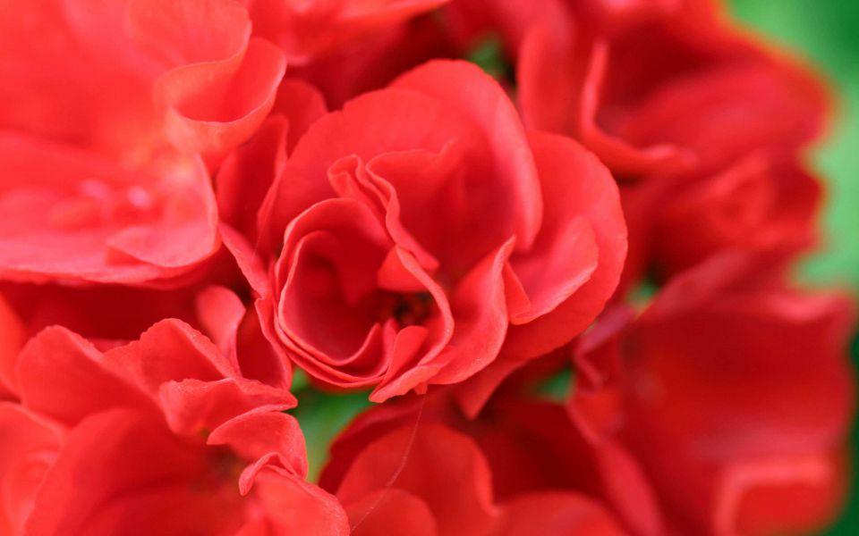 Hintergrundbild Rote Blume