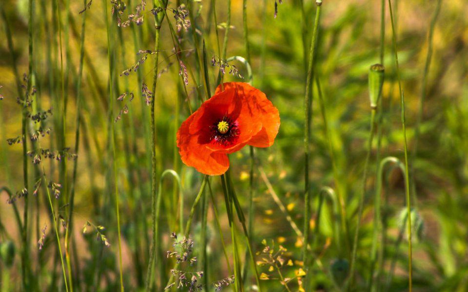Hintergrundbild Rote Klatschmohn Blüte