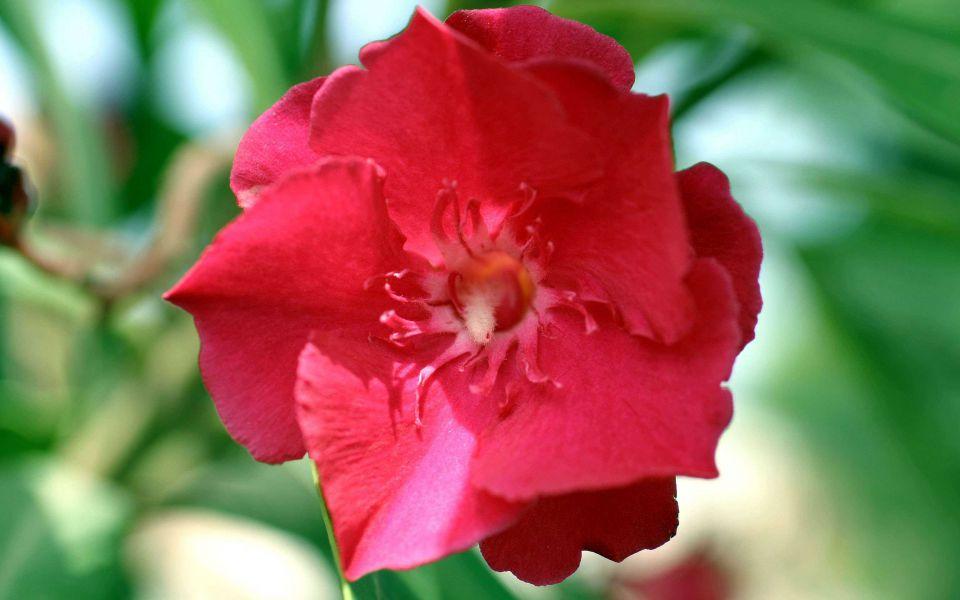 Hintergrundbild Rote Oleanderblüte