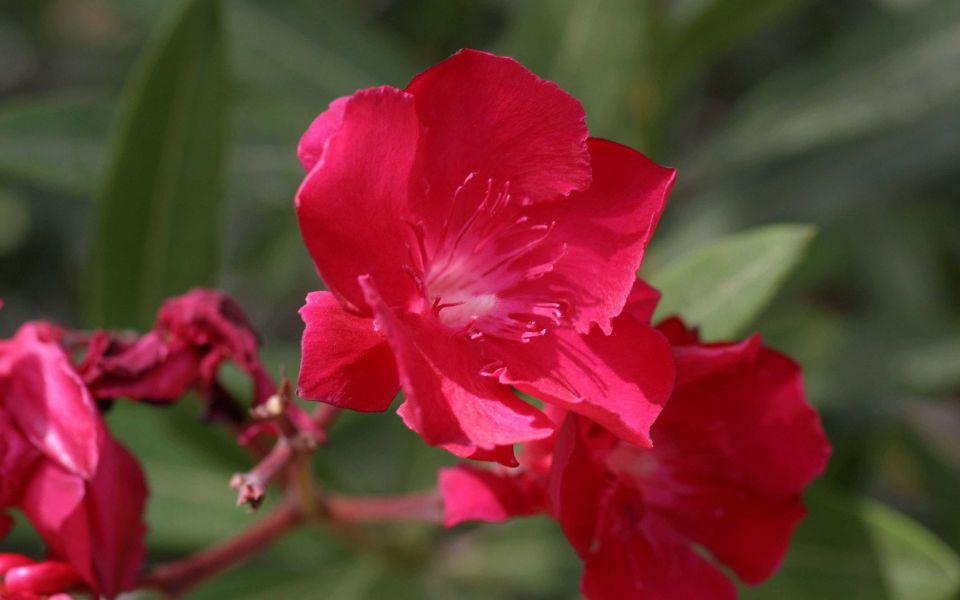 Hintergrundbild Roter Oleander