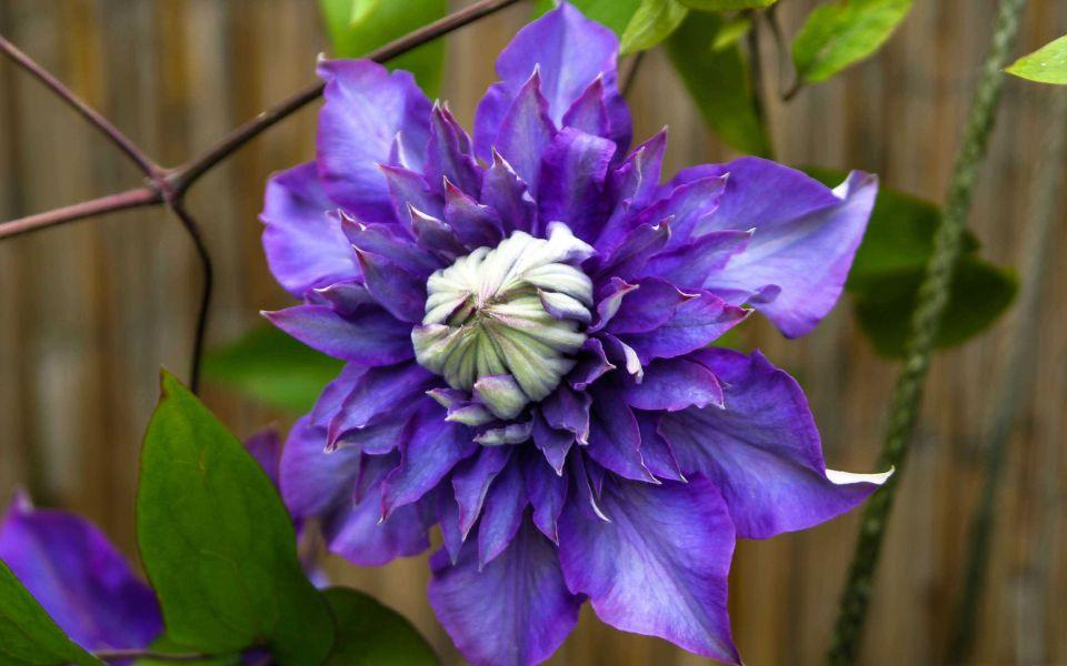 Hintergrundbild Schöne violette Clematis