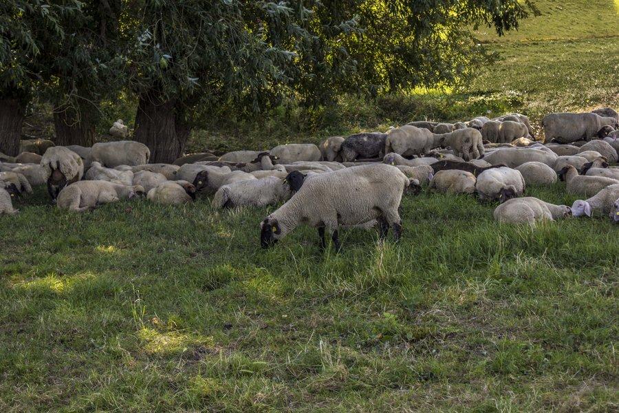 Hintergrundbild Schafe am Rhein bei Duisburg