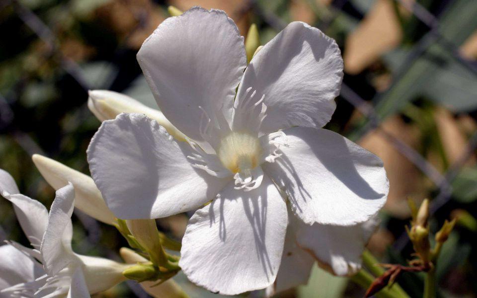 Hintergrundbild Nahaufnahme weißer Oleander