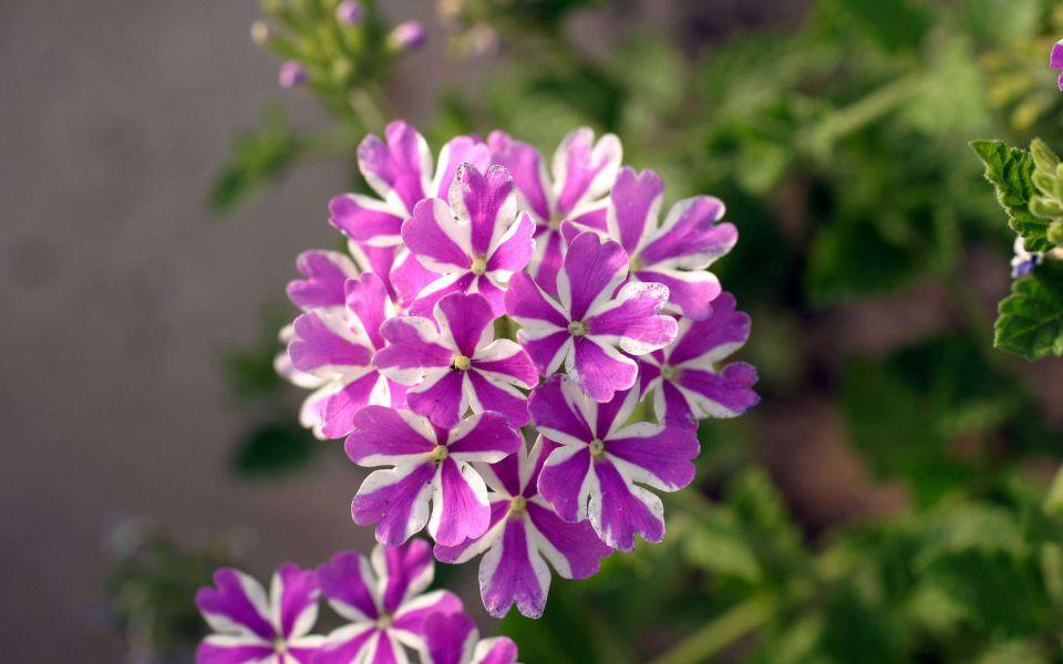 Hintergrundbild Nahaufnahme Zweifarbige Blume