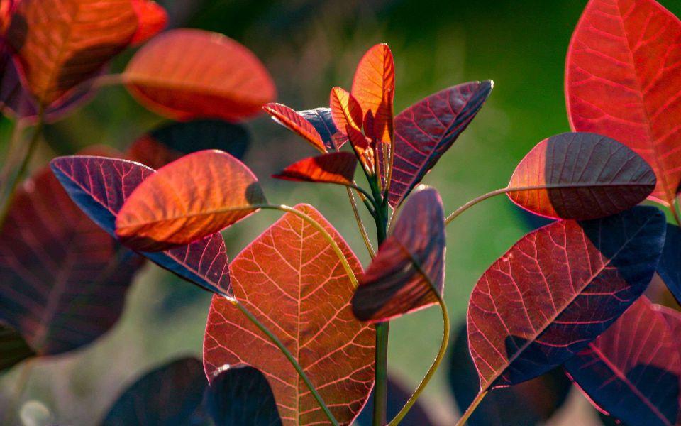 Hintergrundbild Blätter Roter Perückenstrauch