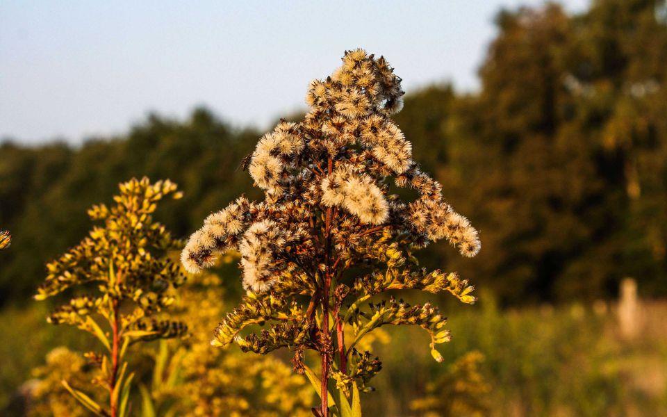 Hintergrundbild Herbstliche Gräser Nahaufnahme