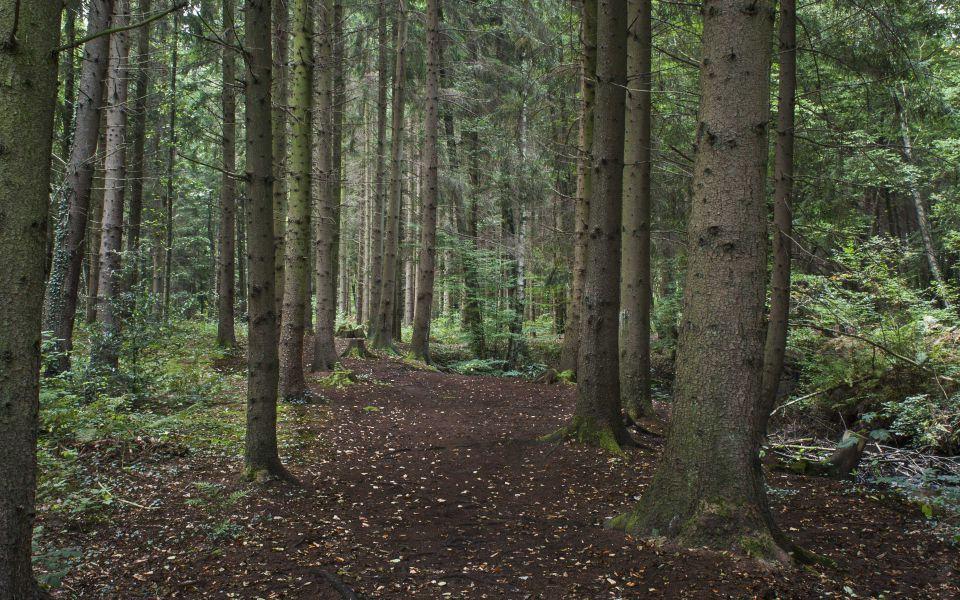 Hintergrundbild Waldweg durch den Nadelwald