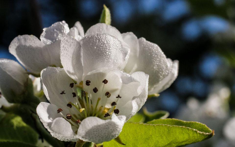 Hintergrundbild Birnenblüte mit Morgentau