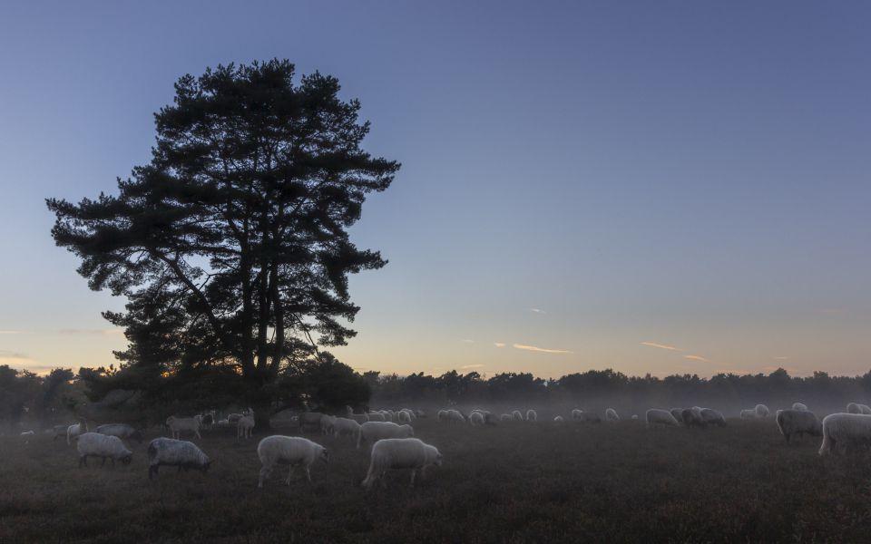 Hintergrundbild Die SchafHerde zieht zum Schlafbaum