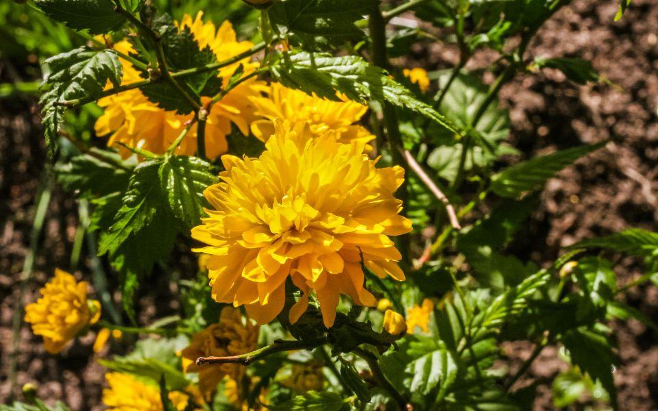 Hintergrundbild Gelbe Blüte eines Ranunkelstrauch