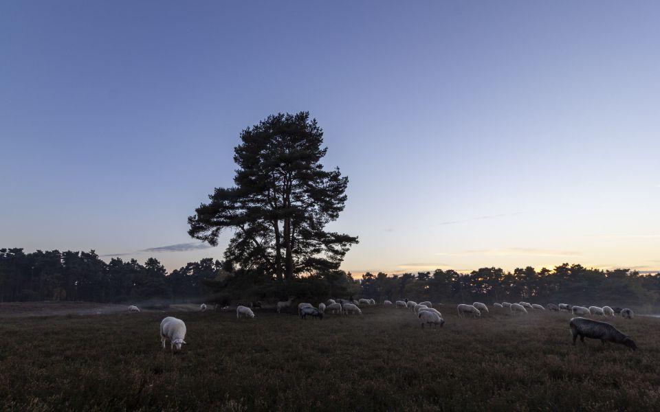 Hintergrundbild Heidschnucken Herde in der Dämmerung