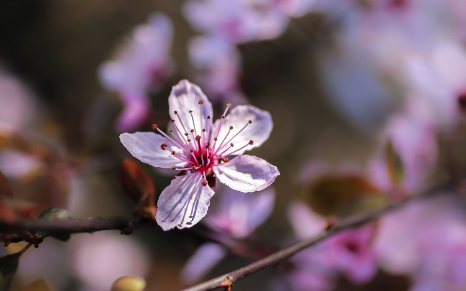 Hintergrundbild Nahaufnahme rosa Blutpflaume