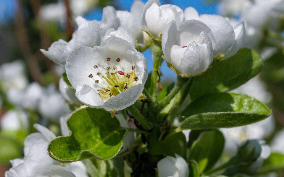 Hintergrundbild Obstblüten mit Morgentau
