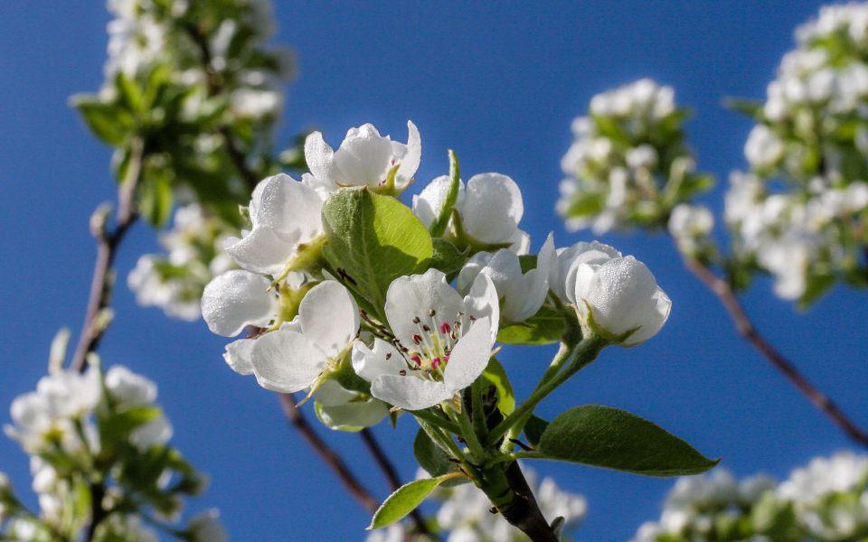 Hintergrundbild Obstblüten vor blauem Himmel