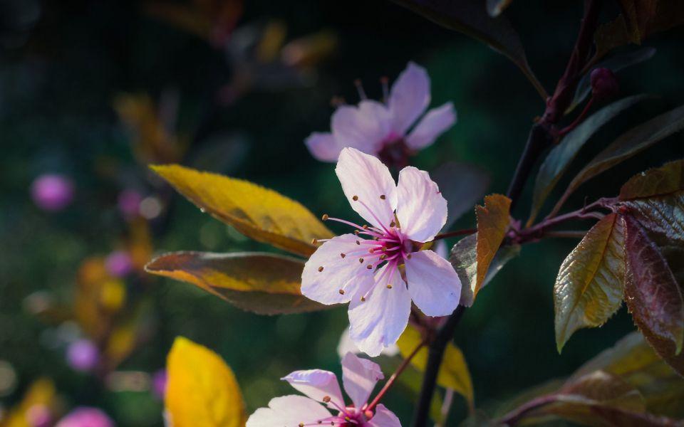 Hintergrundbild Rosa Wildkirschen Blüte