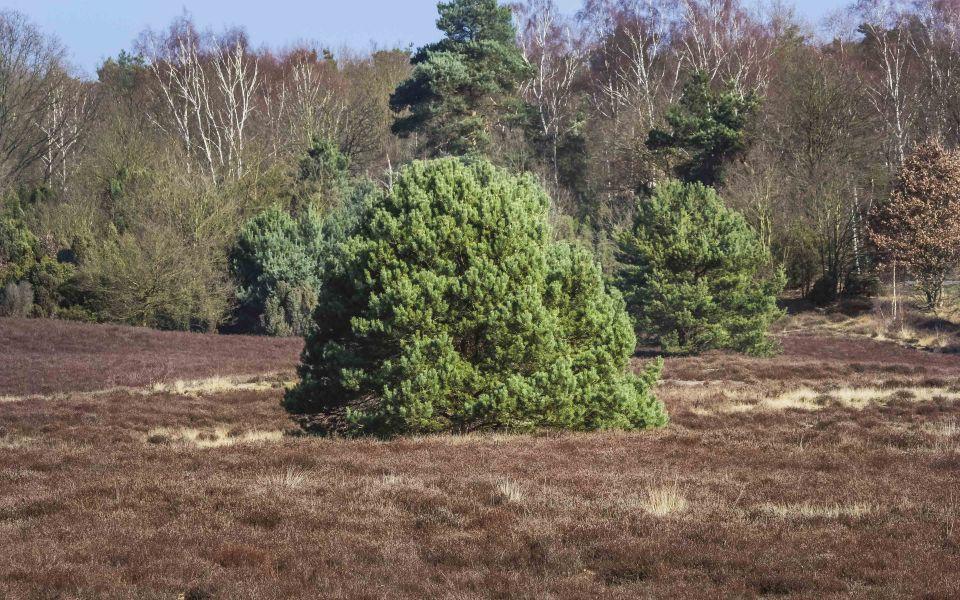 Hintergrundbild Strauch in der Westruper Heide