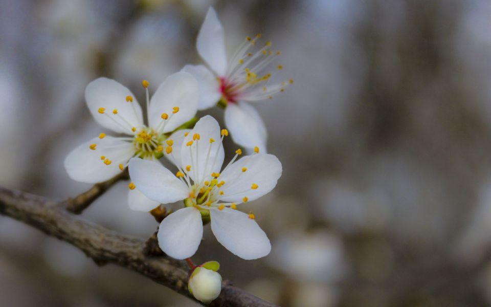 Hintergrundbild Weiße Blüten Nahaufnahme