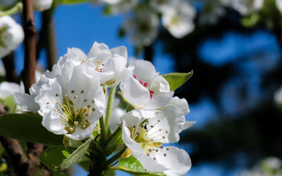 Hintergrundbild Weiße Blüten im Frühjahr