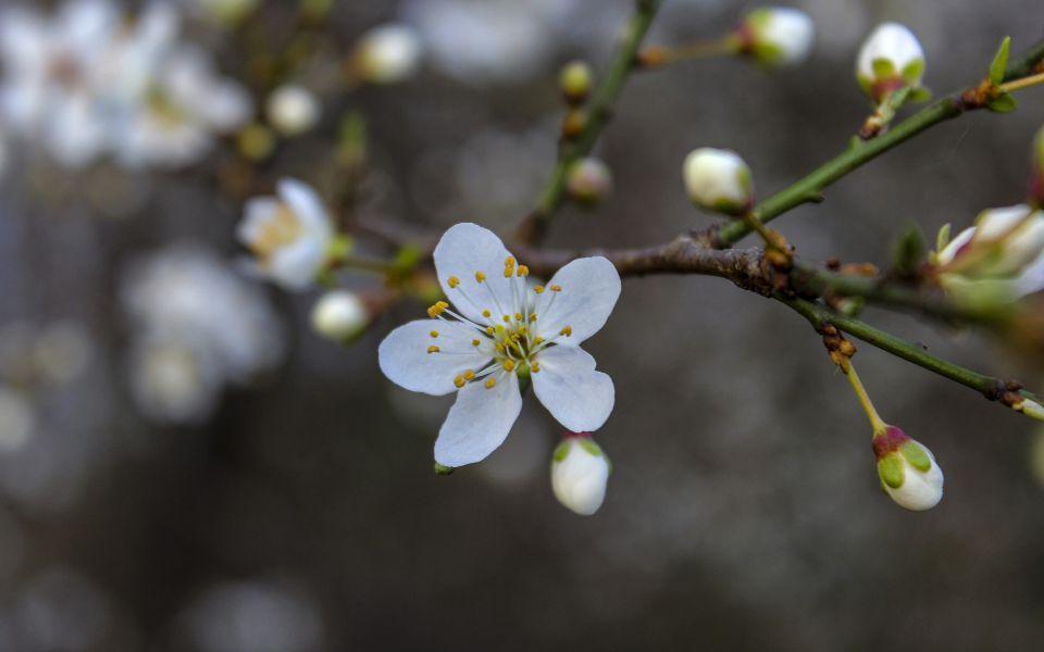 Hintergrundbild Weiße Blüten im Frühling