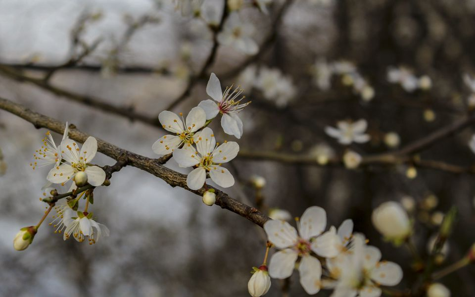 Hintergrundbild Weiße Blüten im Morgenlicht