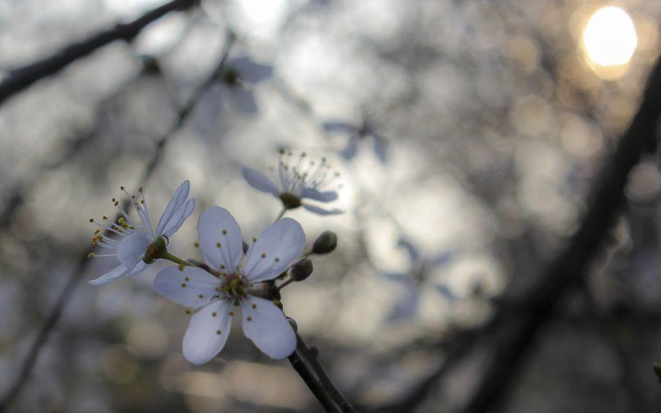Hintergrundbild weiße Blüten mit der Frühlingssonne
