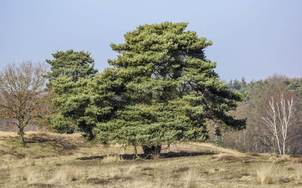 Hintergrundbild Waldkiefer in der Westruper Heide
