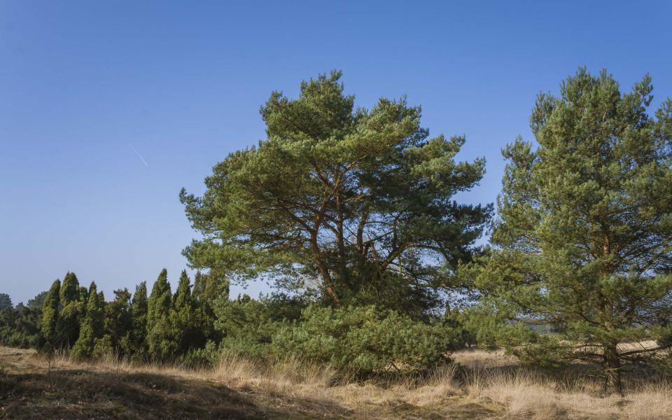 Hintergrundbild Westruper Heide - Baumgruppe