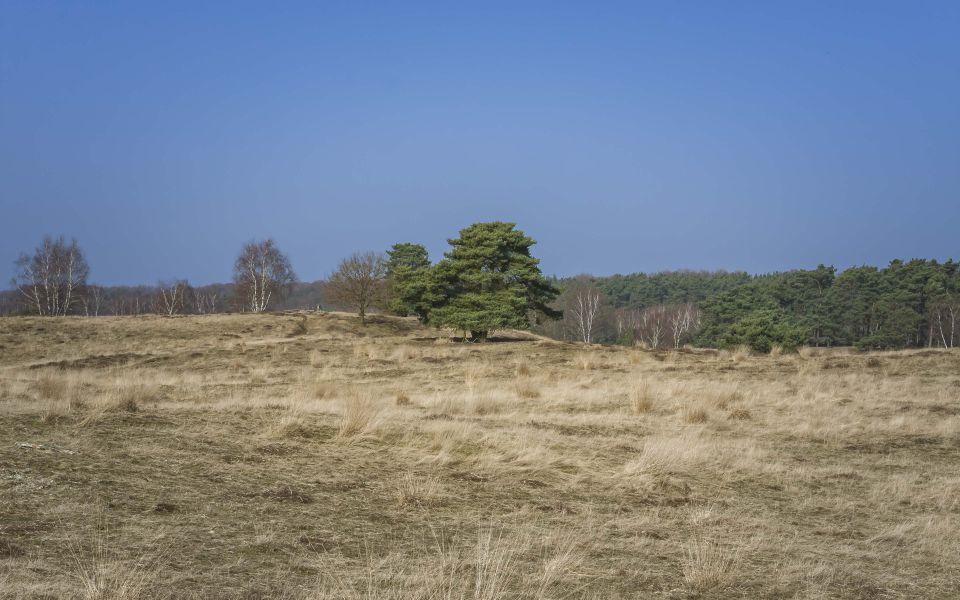 Hintergrundbild Westruper Heide - Einzelner Baum