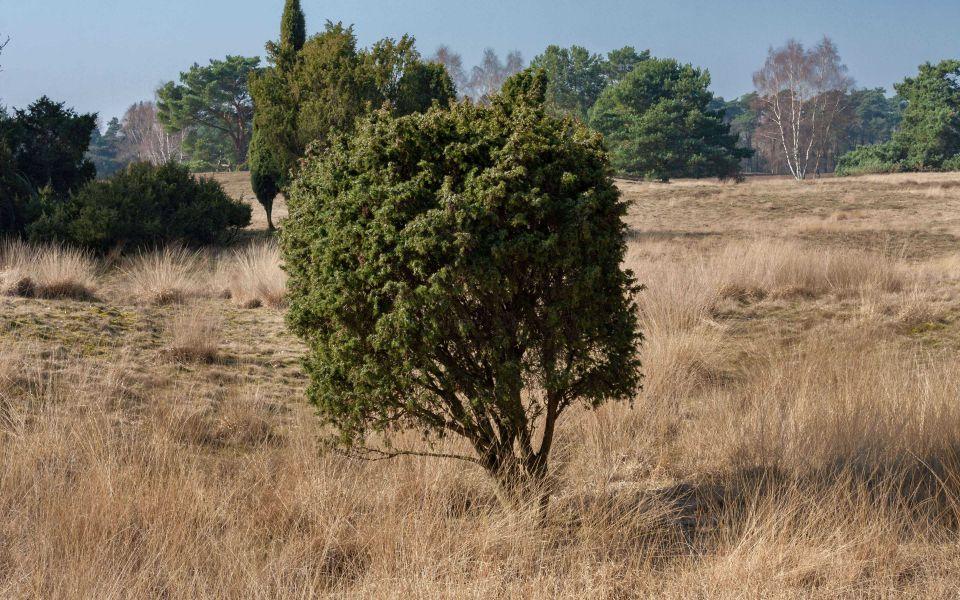 Hintergrundbild Westruper Heide Kleiner Baum